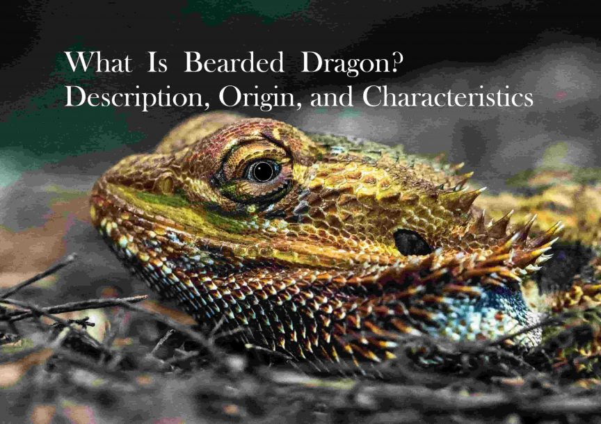 What Is Bearded Dragon