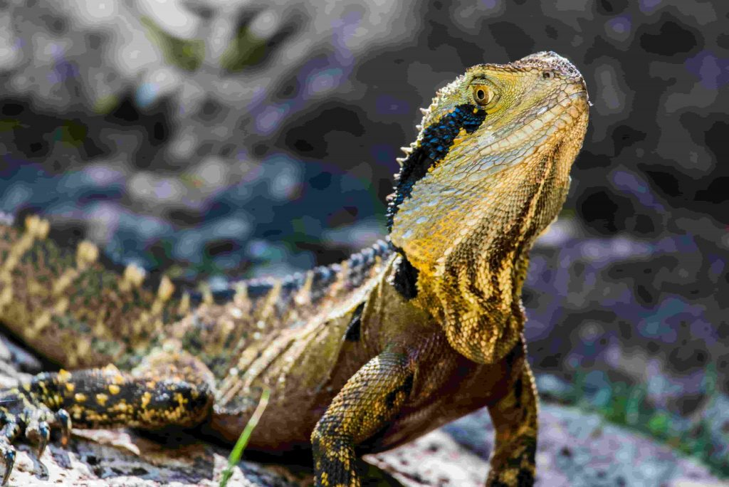 The Ultimate Guide For Types of Bearded Dragons