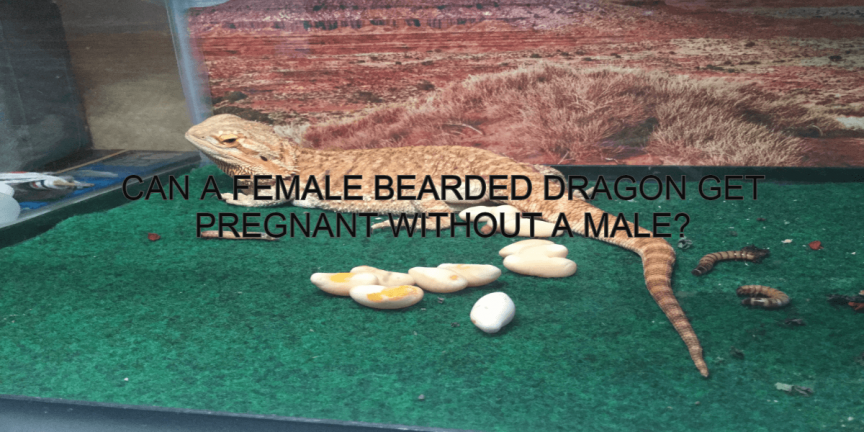 CAN A FEMALE BEARDED DRAGON GET PREGNANT