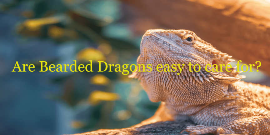 Are Bearded Dragons easy to care for
