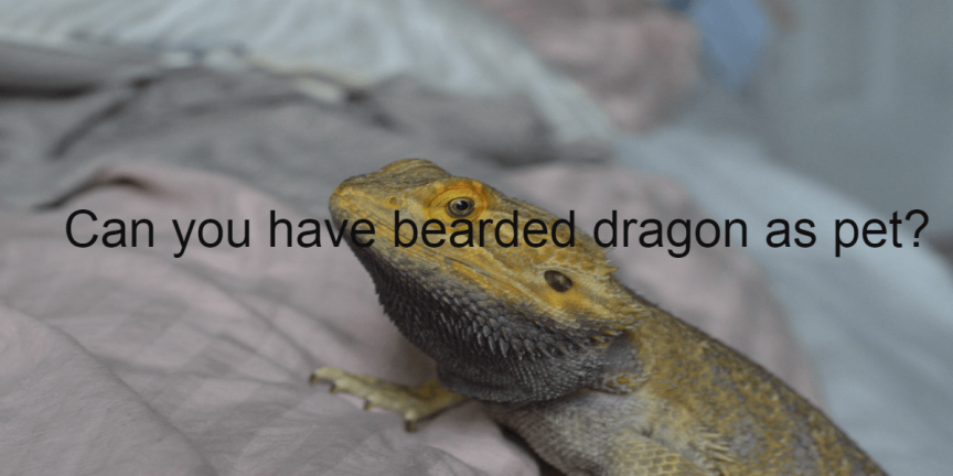 Can you have bearded dragon as pet