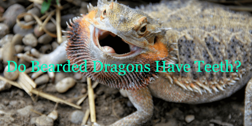 Do Bearded Dragons Have Teeth