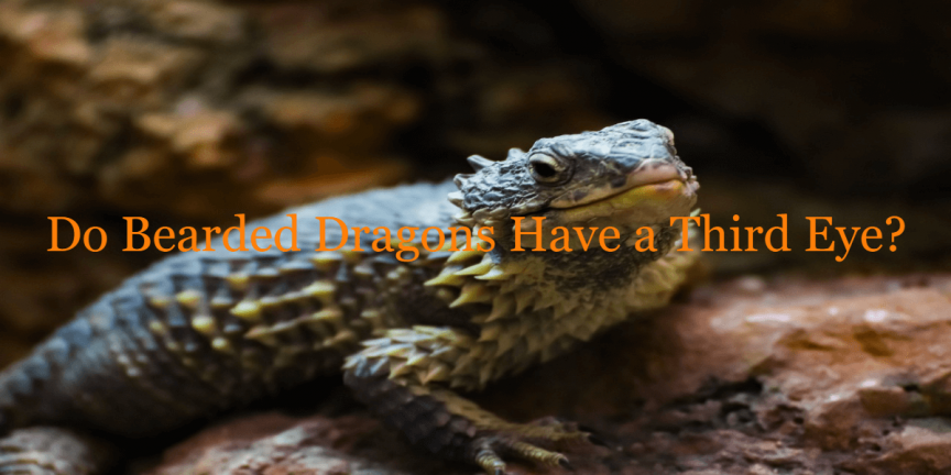 Do Bearded Dragons Have a Third Eye
