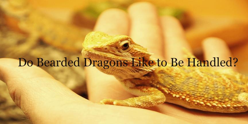 Do Bearded Dragons Like to Be Handled_