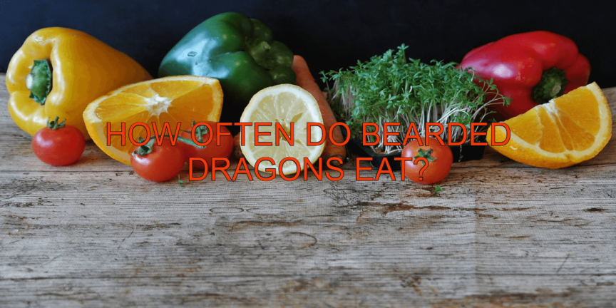 HOW OFTEN DO BEARDED DRAGONS EAT