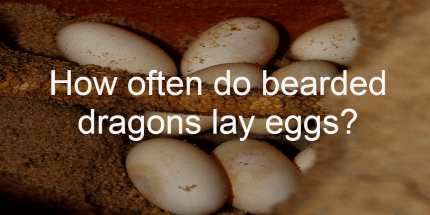 How often do bearded dragons lay eggs