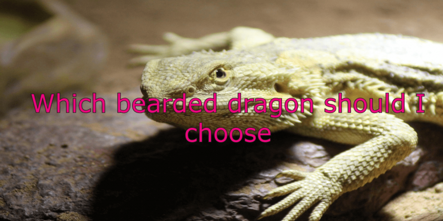 Which bearded dragon should I choose