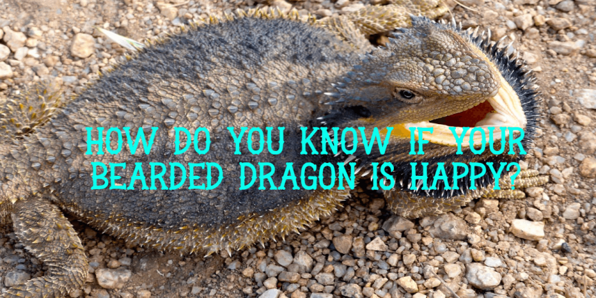 HOW DO YOU KNOW IF YOUR BEARDED DRAGON IS HAPPY
