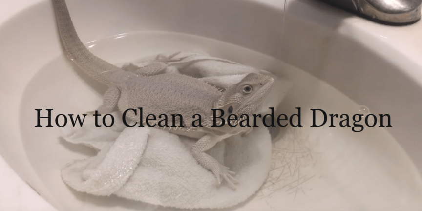 How to Clean a Bearded Dragon