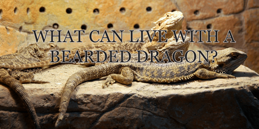 WHAT CAN LIVE WITH A BEARDED DRAGON