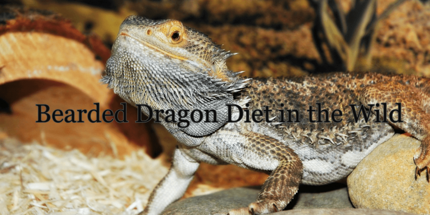 Bearded Dragon Diet in the Wild