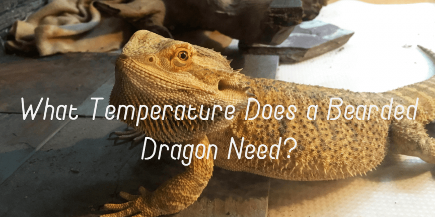 What Temperature Does a Bearded Dragon Need?