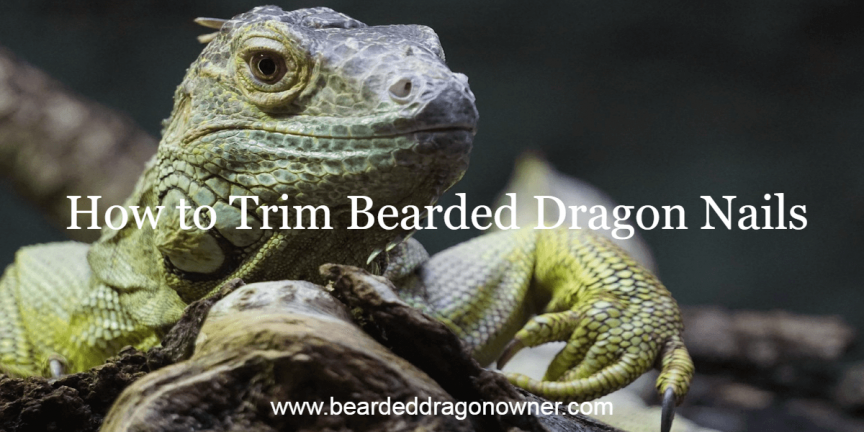 How to Trim Bearded Dragon Nails
