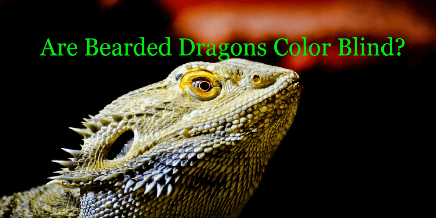 Are Bearded Dragons Color Blind?