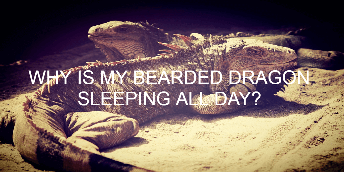 WHY IS MY BEARDED DRAGON SLEEPING ALL DAY?